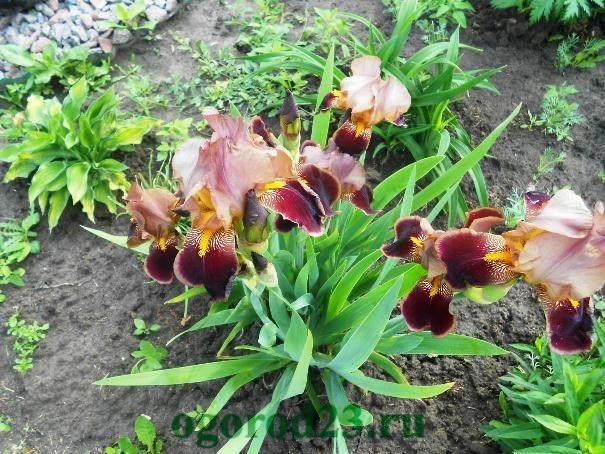 Как и когда сажать ирисы? выращивание ирисов