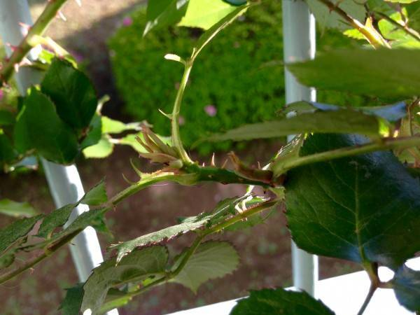 Особенности обрезки плетистых роз в разное время года — советы и пошаговая инструкция