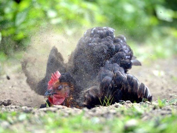 Куриные клещи и методы борьбы с ними