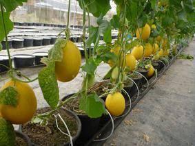 Как вырастить сладкую дыню в подмосковье в открытом грунте