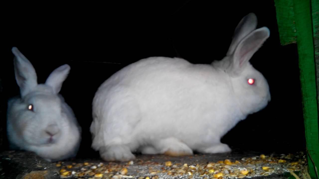 Особенности проведения спаривания кроликов