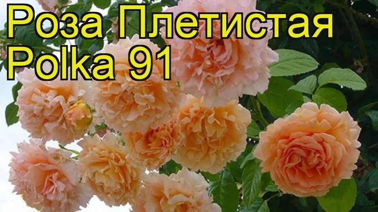 Плетистая роза «полька»: описание сорта, особенности посадки и ухода