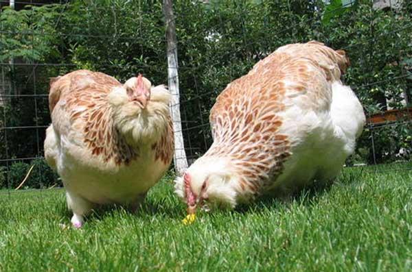 Фавероль: описание породы кур и ее особенности, фото цыплят и петухов, выращивание и содержание