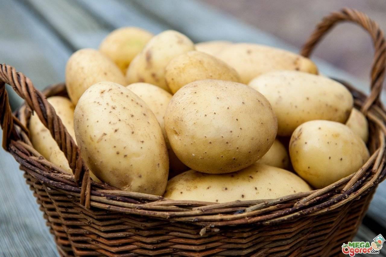 Подготовка картофеля к посадке весной - прогревание, проращивание, переборка и сортировка