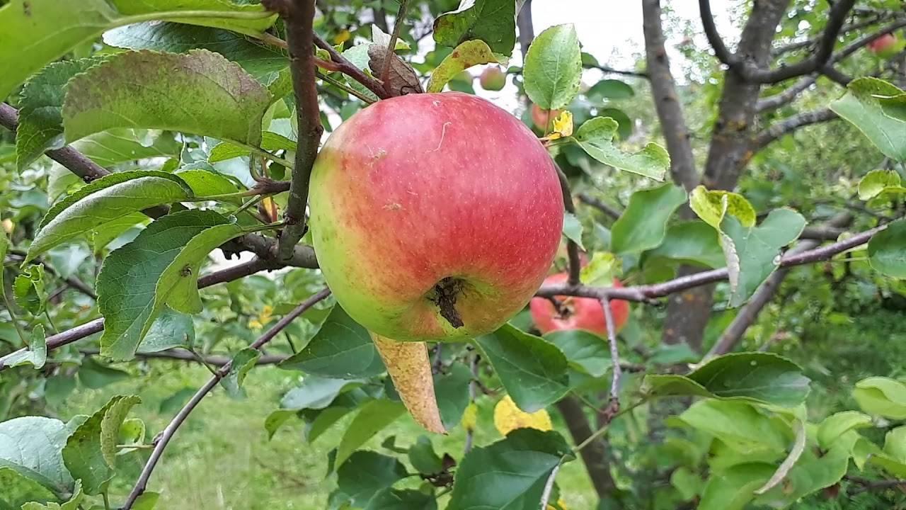 Сорт яблони богатырь: характеристика и особенности выращивания
