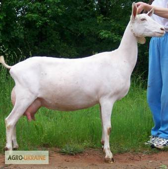 Зааненская порода коз - описание, фото и видео | россельхоз.рф