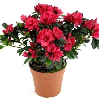 Комнатные цветы с фиолетовыми листьями (30 фото): домашние растения с листьями зелеными сверху и фиолетовыми снизу, другие виды