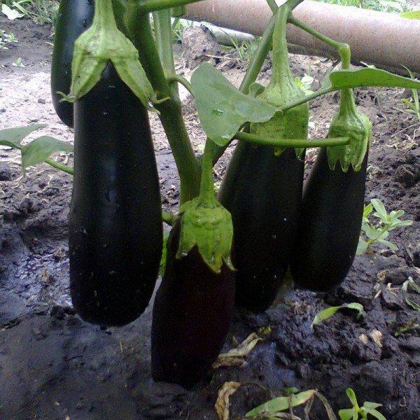 Выращивание баклажанов в теплице на урале
