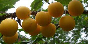 Сорта алычи для беларуси