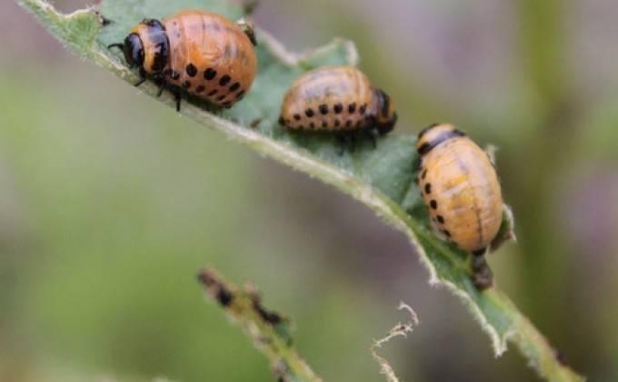 Душистый табак против колорадского жука — что и как делать на огороде