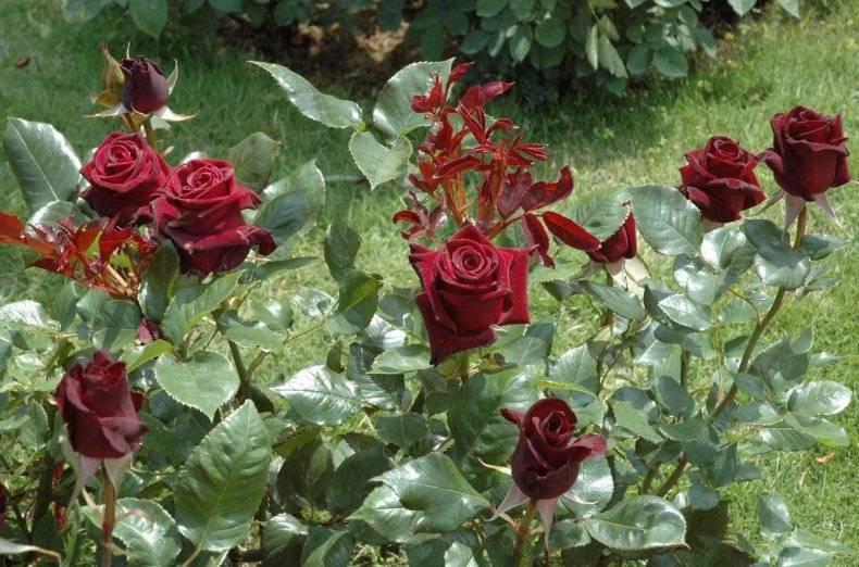 Роза блэк баккара: описание сорта и 4 правила выращивания