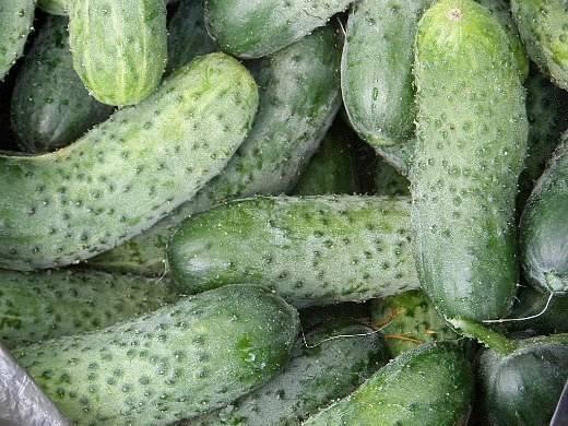 Лучшие сорта огурцов для открытого грунта и теплицы
