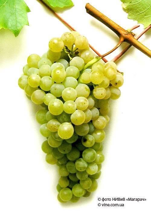 Виноград цитронный магарача: характеристика и описание сорта, отзывы, посадка и уход, изготовление вина, отзывы
