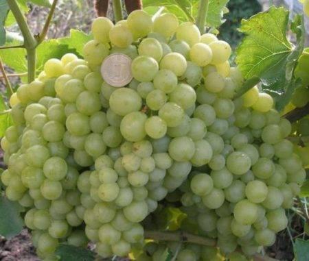 Описание сорта винограда венус