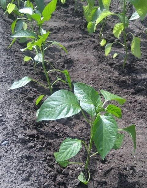 Посадка баклажанов в открытый грунт: секреты эффективного выращивания