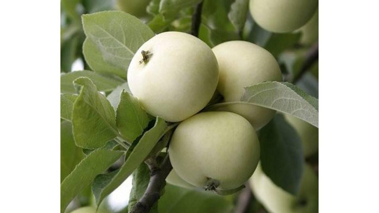 Уход за яблоней белый налив