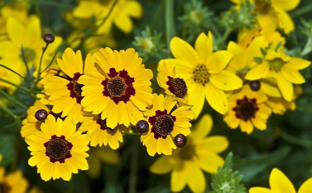 Цветок кореопсис: разновидности, описание, фото
