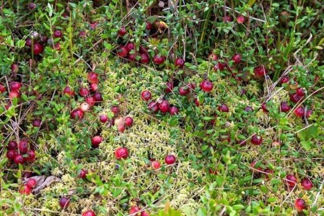 Посадка клюквы и выращивание в открытом грунте: правила ухода и размножения