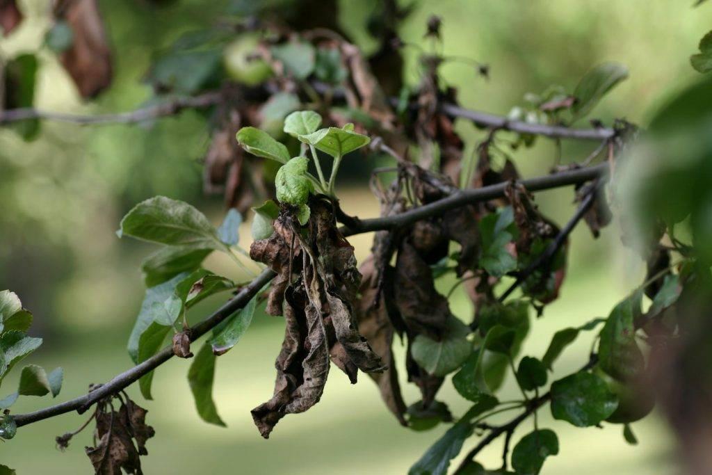 У черешни скручиваются листья: как обработать дерево и советы по выбору удобрений (видео + 100 фото)
