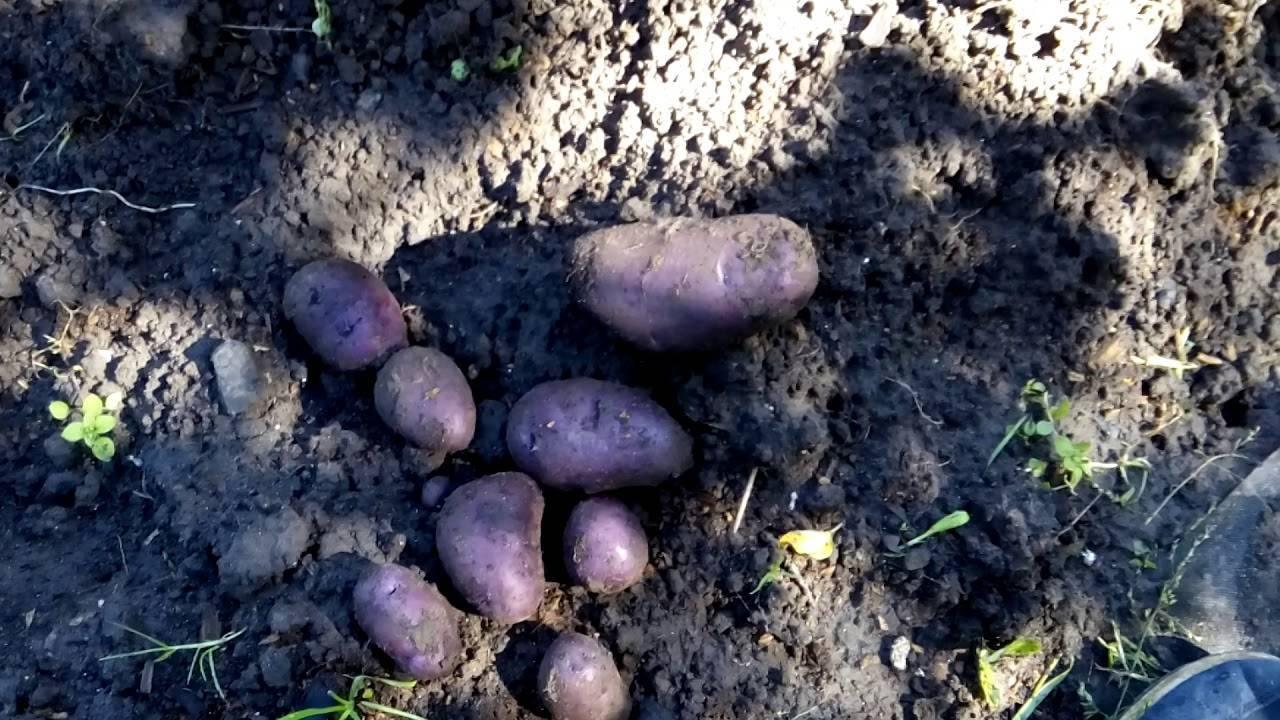 Удача: описание семенного сорта картофеля, характеристики, агротехника
