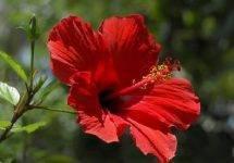 Лепестки суданской розы лечебные свойства