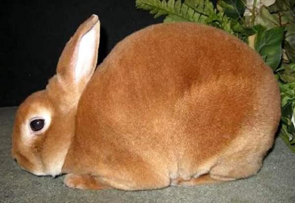Кролики «рекс»