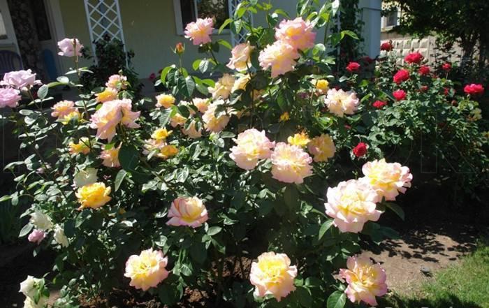 Выращивание розы глория дей: описание сорта, выбор места, посадка, укрытие на зиму, уход, подкормка, обрезка, полив, борьба с вредителями, отзывы
