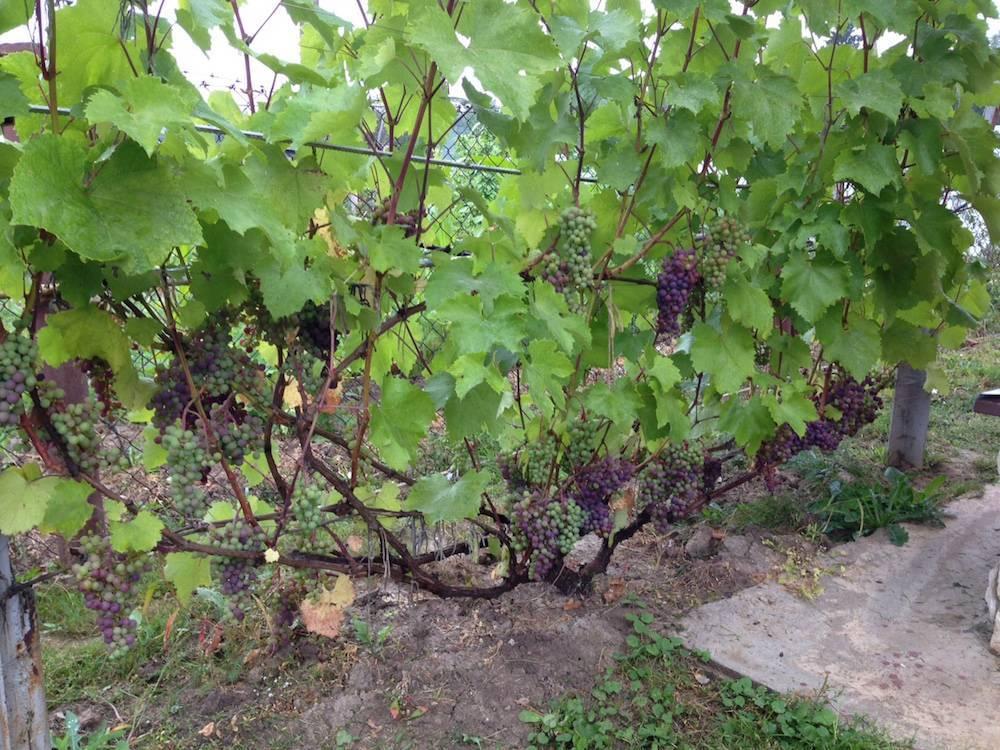 Пересадка винограда на новое место весной и осенью