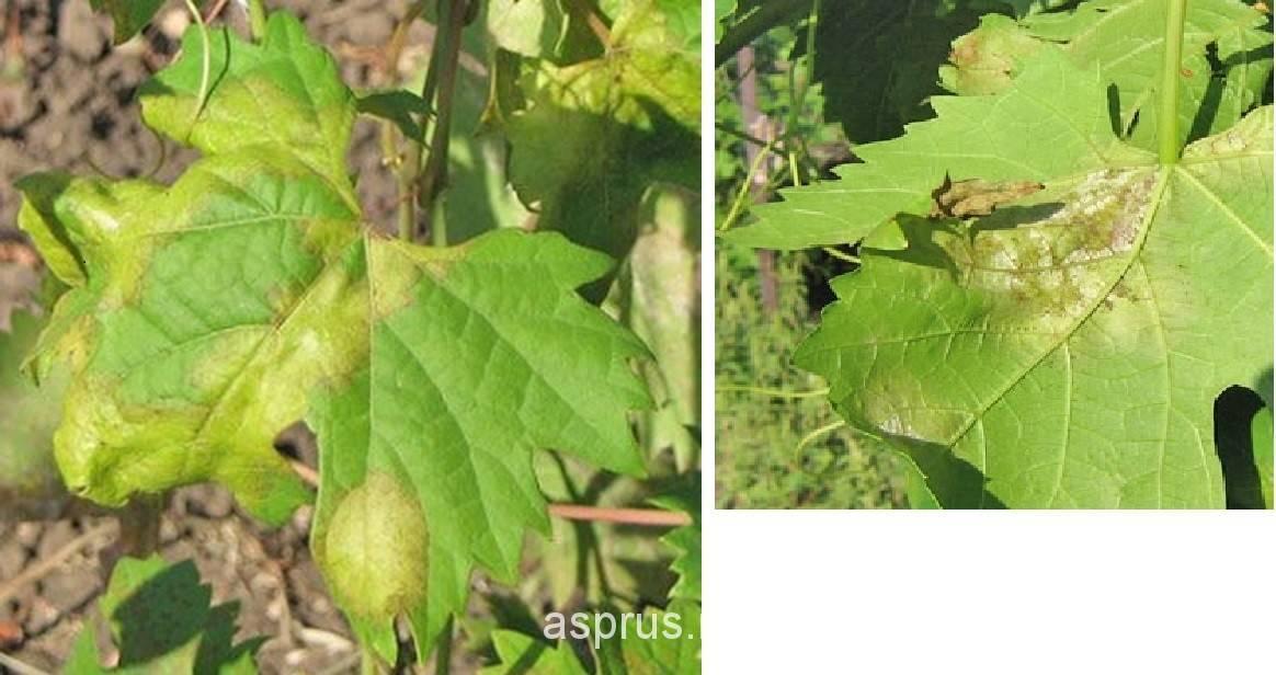 Бактериальный рак винограда: лечение и защита, фото и симптомы, причины возникновения