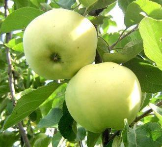 Яблоня папировка: описание сорта, фото, отзывы садоводов