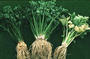 Выращивание сельдерея черешкового из семян