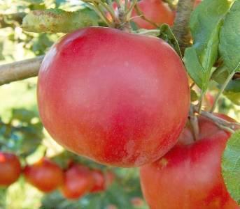 Макинтош (сорт яблони)