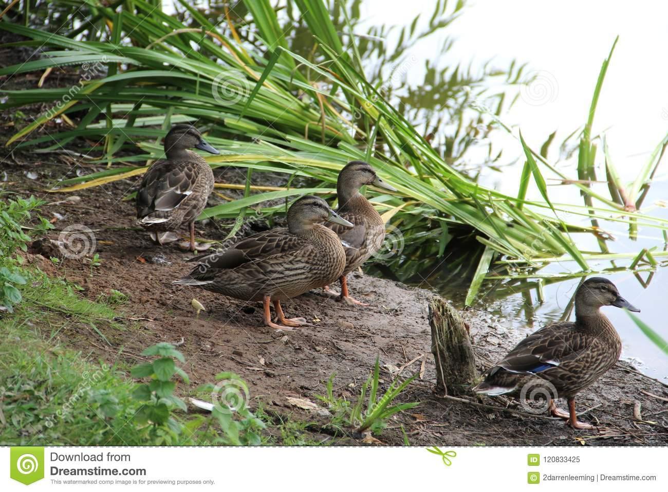 Что едят утки и есть ли разница в питании диких и домашних птиц