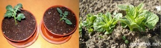 Технология выращивания картофеля из семян: посев