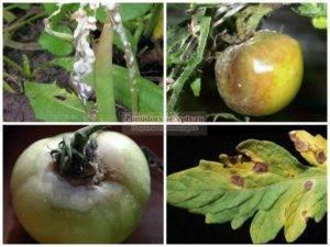Болезни и вредители помидоров в теплице и открытом грунте: фото, описание, меры борьбы