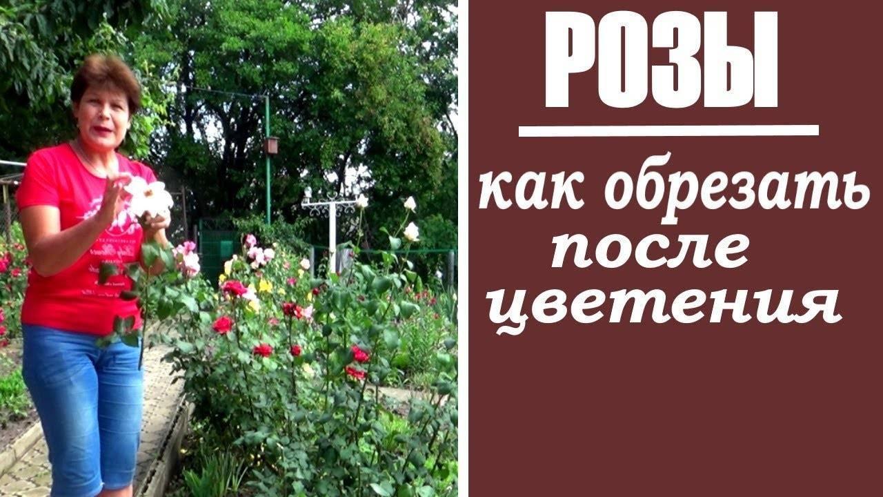 Основные ошибки при выращивании роз