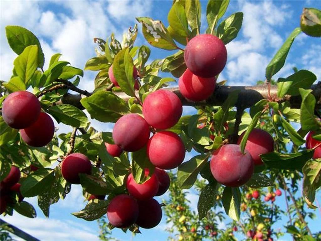Слива персиковая опылители