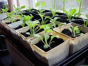 Петуния, посев семян на рассаду - хитрости бывалых цветоводов