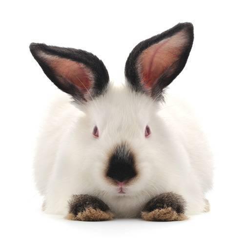 Кролики калифорнийские: разведение, выращивание, кормление