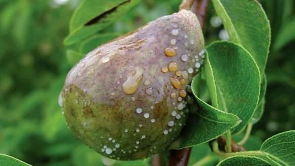 Ржавчина на груше чем лечить. симптомы ржавчины