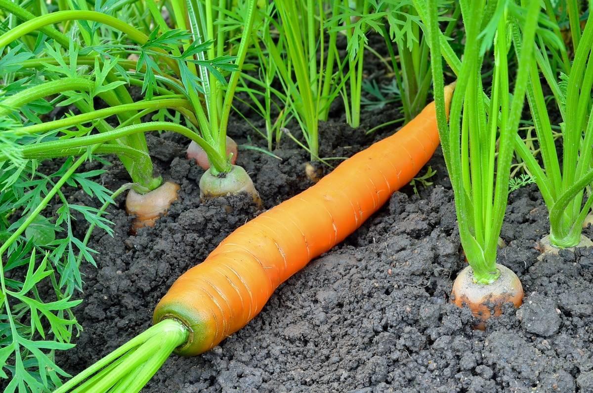Когда сажать морковь в Подмосковье весной, сроки посева моркови