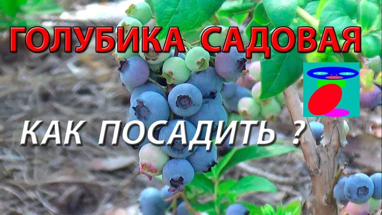 Голубика садовая: посадка и уход, фото, отзывы бывалых садоводов