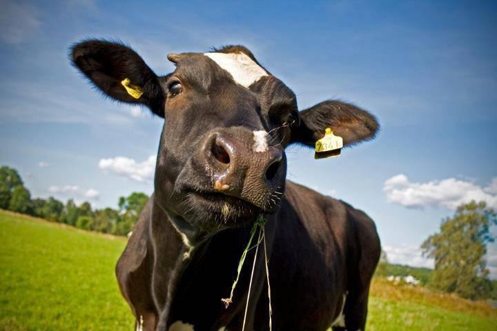 Сколько стоит товарная корова в россии: цены на мясные и молочные породы от 70 тыс. руб.