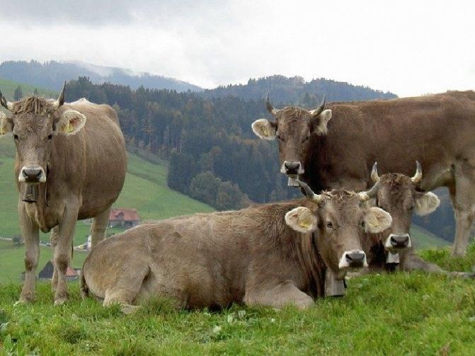 Какие бывают породы коров