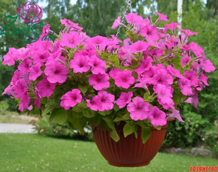 Секреты, как правильно прищипывать петунию для обильного цветения и кустистости.