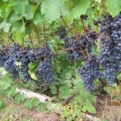 Виноград «дружба»— ароматный, сладкий для десерта и вина