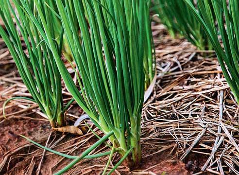 Многолетний лук: сорта и фото, посадка и уход, сбор и хранение урожая