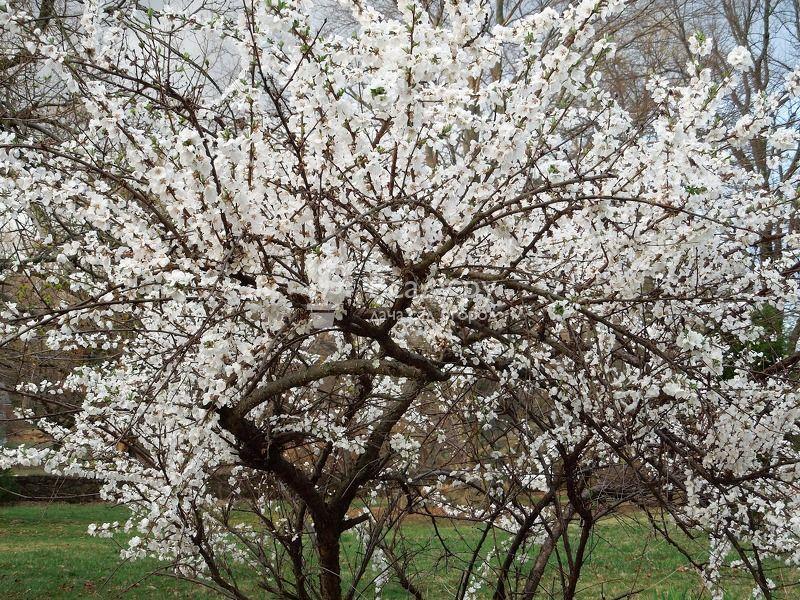 Войлочные вишни: лучшие сорта и правила выращивания