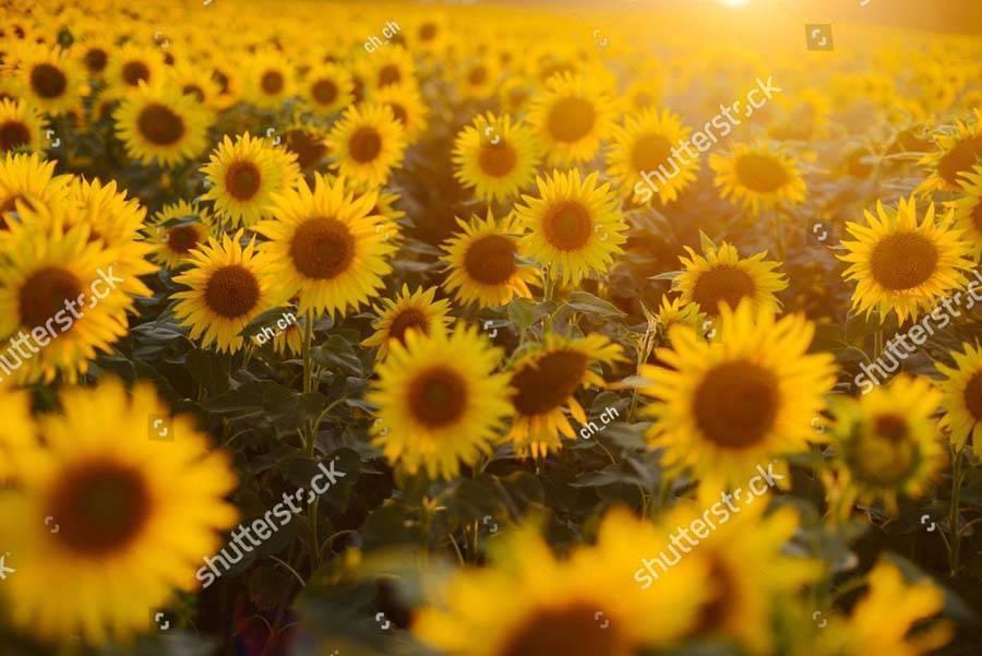 Подсолнечник: выращивание из семян, посадка в открытый грунт и уход