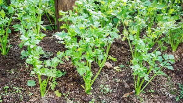Посадка сельдерея, выращивание и уход в открытом грунте